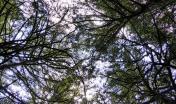 foresta vetusta di Sos Nibberos, Bono (foto Sergio Fantini)