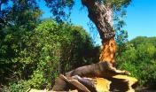 estrazione del sughero, bosco del centro Sardegna