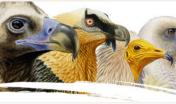 vulturidi, le 4 specie più importanti per l'Europa