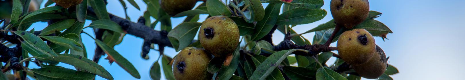 foglie e frutti del perastro (foto Cristian Mascia, Gairo)